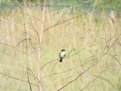 Eastern Phoebe at Sweetwater Wetlands Park