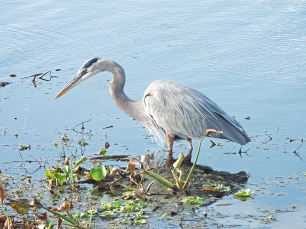 Great Blue Heron at Sweetwater Wetlands Park