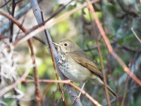 Hermit Thrush at Newnans Lake