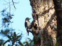 Juvenile Red-headed Woodpecker at Prairie Creek Preserve