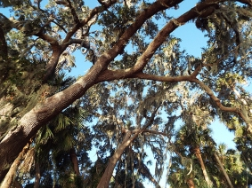 Live Oak canopy at Newnans Lake