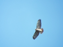 Red-tailed Hawk over Prairie Lake Preserve