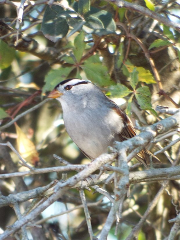 white-crowned-sparrow2