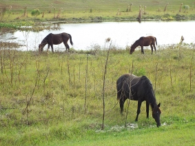 Wild Horses at Sweetwater Wetlands Park