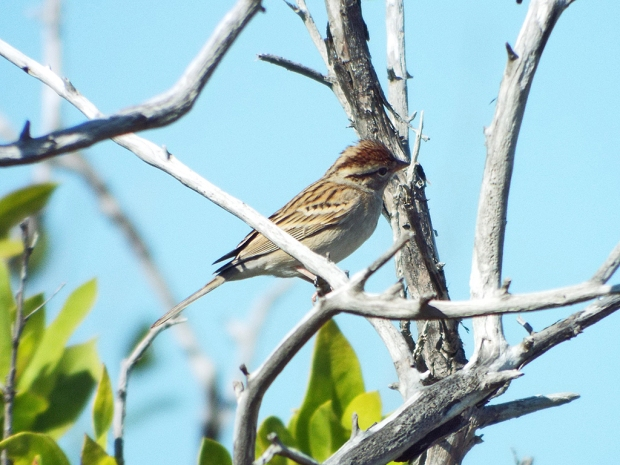 chipping-sparrow1