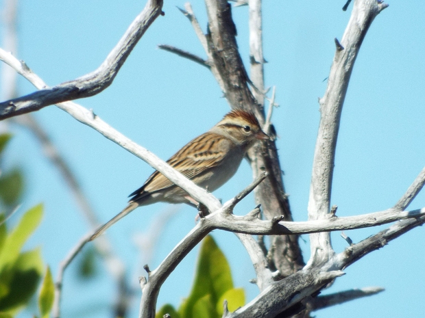chipping-sparrow2