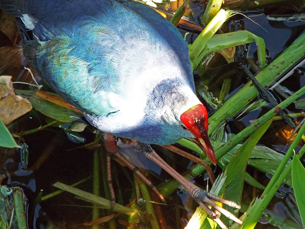 gray-headed-swamphen2