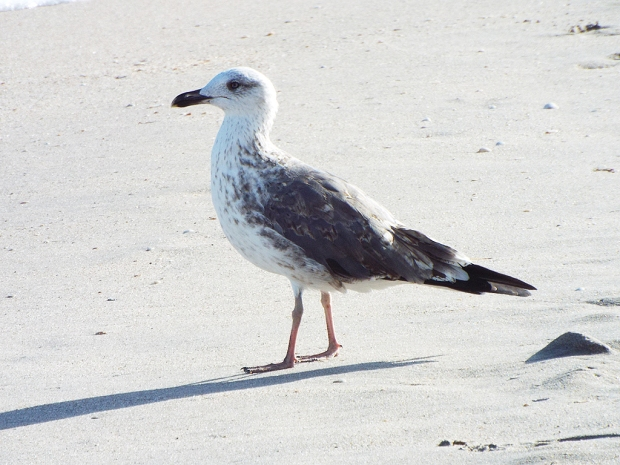 immature-lesser-black-backed-gull
