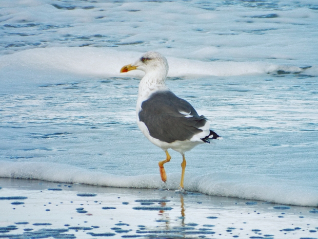 lesser-black-backed-gull