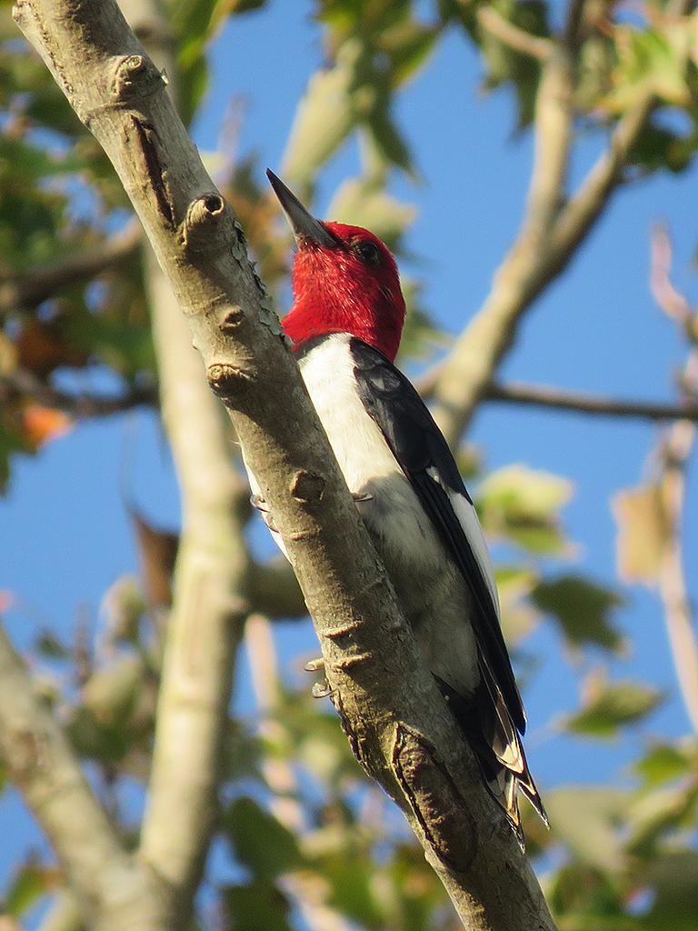 red-headed-woodpecker1