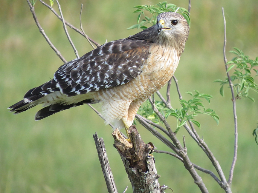 red-shouldered-hawk3