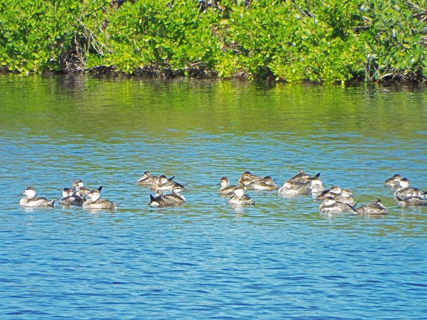 ruddy-ducks