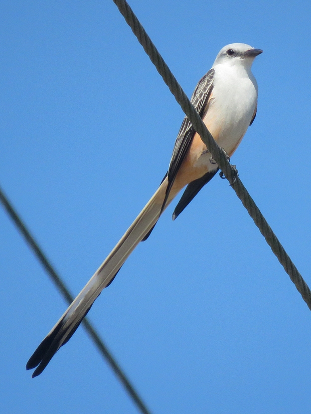 scissor-tailed-flycatcher1b