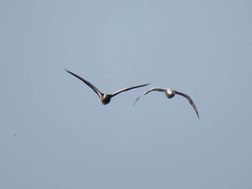 snow-geese1