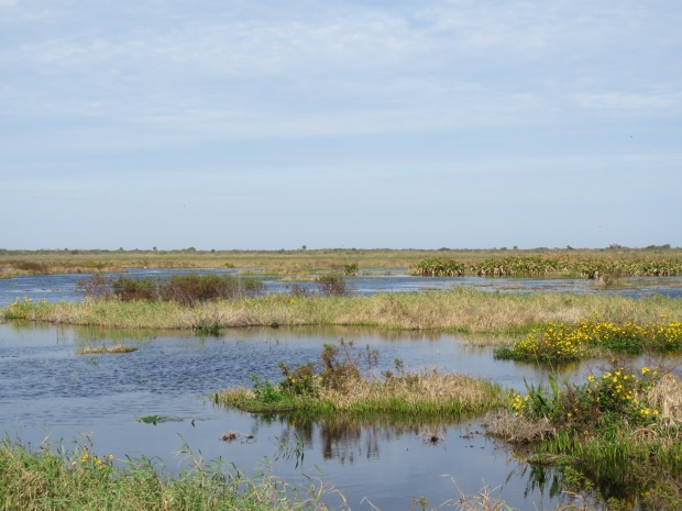 Open freshwater marsh with areas of open water and small grassy islets with yellow flowers and taller tussocks. Palmettos in the distance, with a pale blue sky with a translucent altocumulus cloud layer.