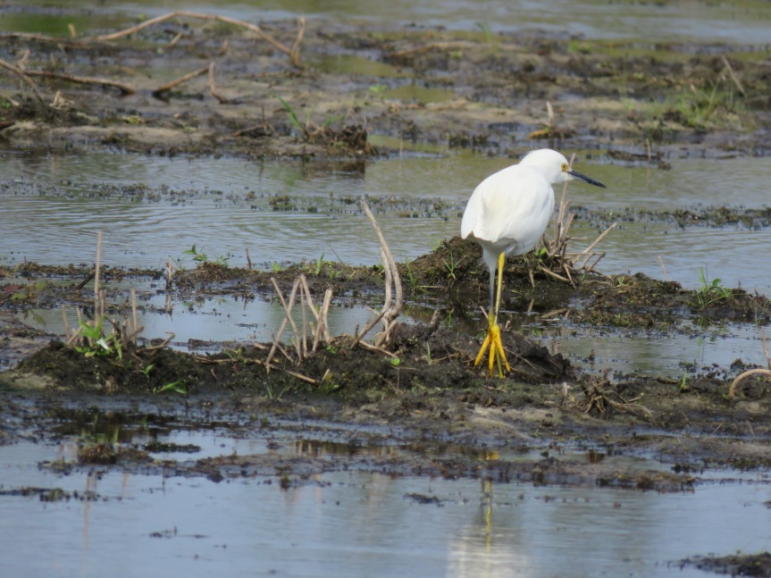 A Snow Egret walking away from the camera, in the right half of the photograph. The bottom of one of its bright yellow feet is displayed as it walked through mud and shallow water.