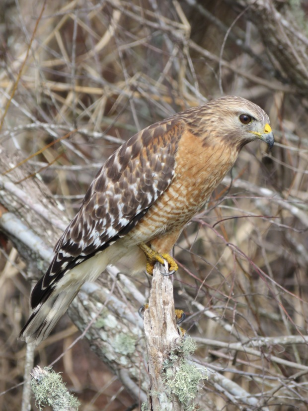 A Red-shouldered Hawk sitting on a small stump, facing to its right, with a background of twigs and branches from low bushes.