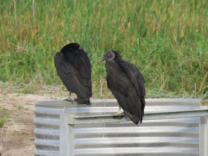 Black Vultures, T.M. Goodwin Waterfowl Management Area