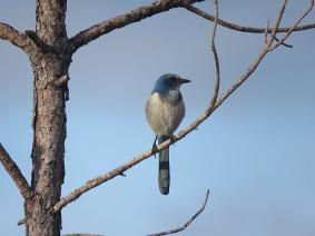 Florida Scrub Jay, Malabar Scrub Sanctuary