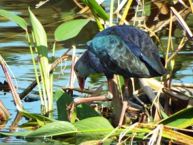 Grey-headed (Purple) Swamphen, Wakodahatchee Wetlands Park