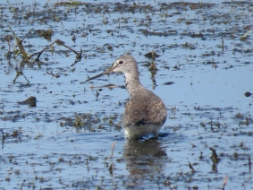 Greater Yellowlegs, Moody Pond