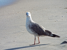 Lesser Black-backed Gull, John D. MacArthur Beach State Park