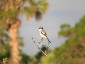 Loggerhead Shrike, Malabar Scrub Sanctuary