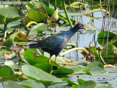 Purple Gallinule, T.M. Goodwin Waterfowl Management Area