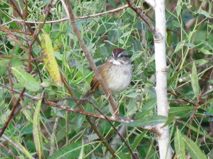 Swamp Sparrow, T.M. Goodwin Waterfowl Management Area