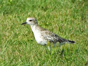 Black-belled Plover (still mostly winter plumage)