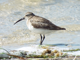 Dunlin. Note the distinctive decurved bill.