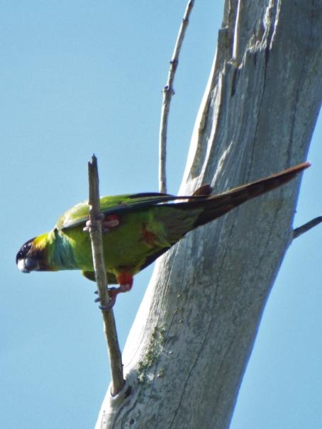 nanday-parakeet