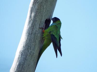 nanday-parakeet2