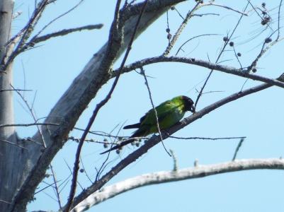 nanday-parakeet3