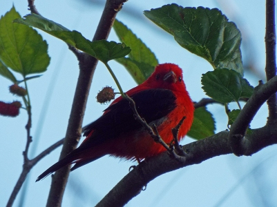 scarlet-tanager0