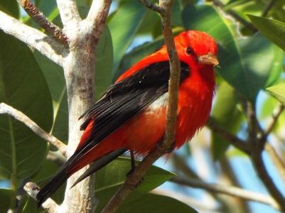 scarlet-tanager2