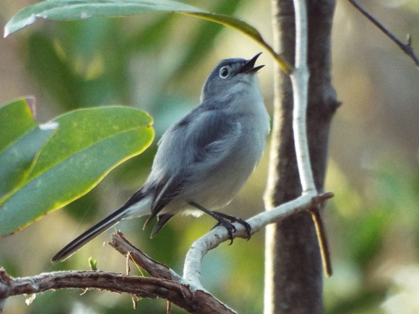 singing-gnatcatcher