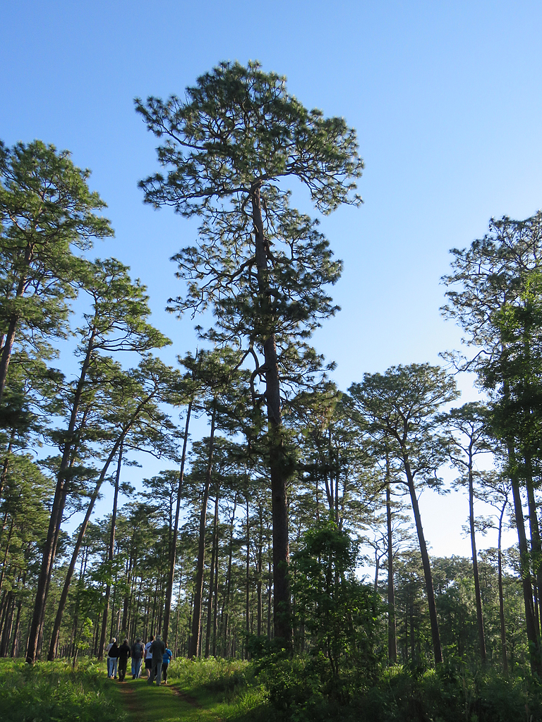 A towering 400 year old Longleaf Pine in the center of the frame. A group of several people look up at it from below and to the left.