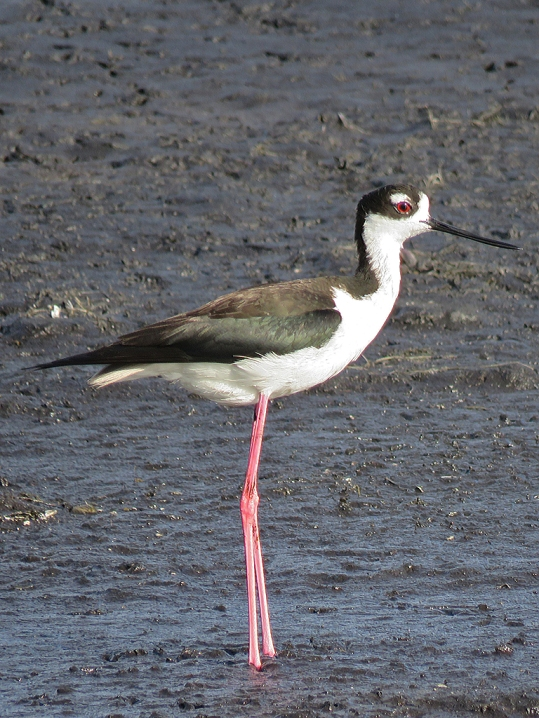 Black-necked Stilt.