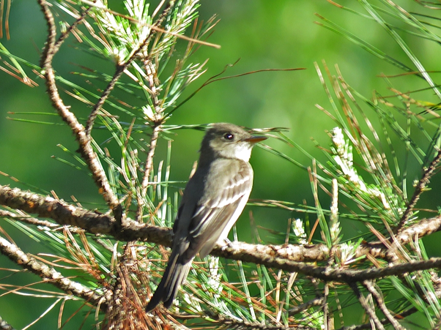 blurry-pewee