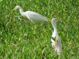 A couple of breeding Cattle Egrets