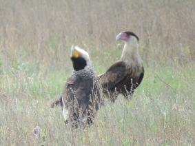 Mating display?