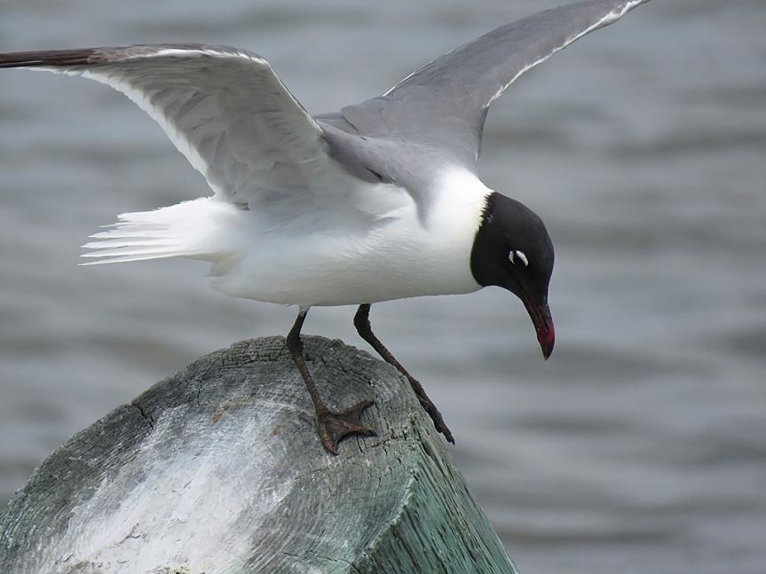 lauging-gull