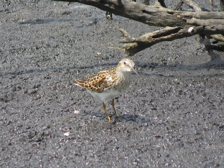 A Least Sandpiper checking out the camera operator!