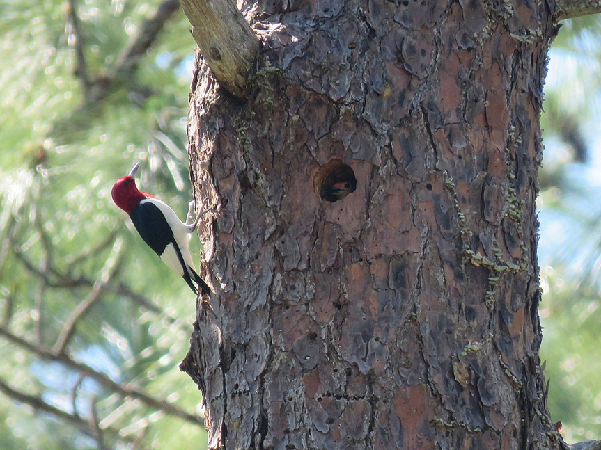 A Red-bellied Woodpecker clinging to the left side of a section of pine tree trunk while a Red-bellied Woodpecker peeks out from a nest hole in the upper-center of the frame.