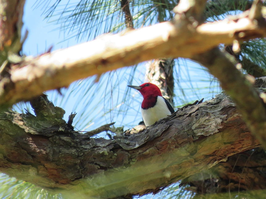 A Red-headed Woodpecker looking to the left, framed by pine branches around the center.