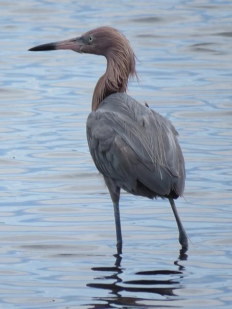 Reddish Egret.
