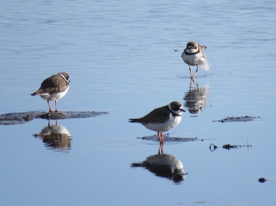 You can never have too many Semipalmated Plovers, right?