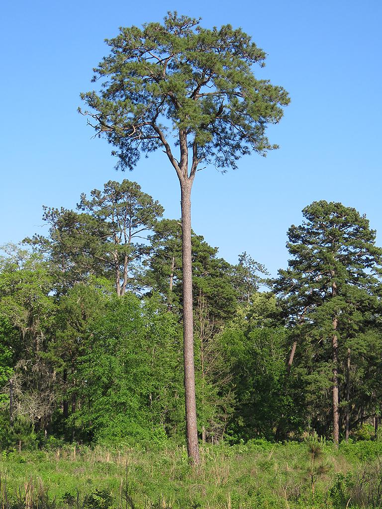 tall-timber.jpg