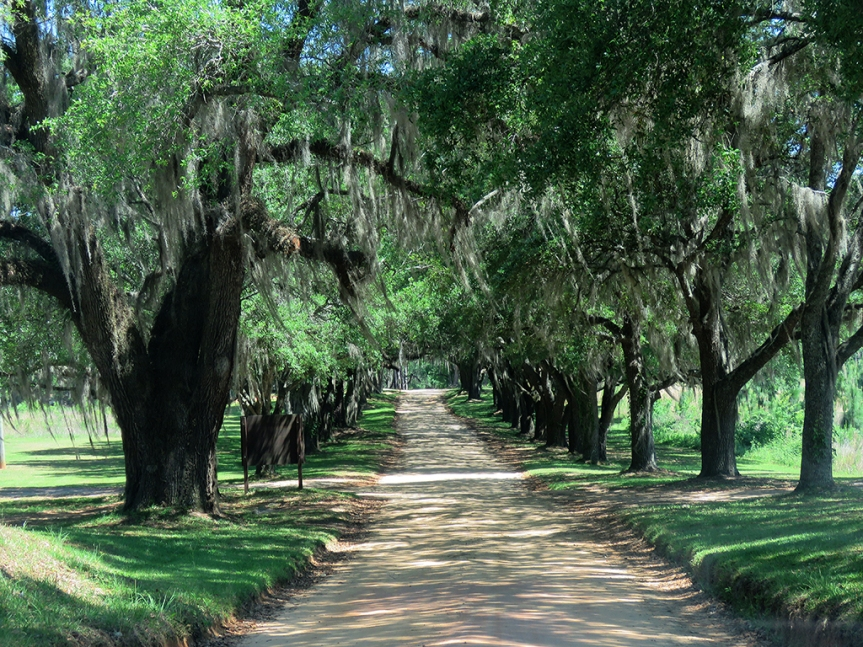 Live Oaks, draped in Spanish Moss, line the dirt driveway leading away from Tall Timbers Research Station